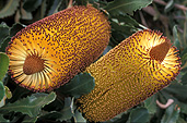 The beautiful Banksia flowers, one of many from our Flowers, Shrubs & Trees files