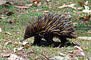Australian Echidna is the only Australian mammal distributed throughout the continent