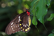 The Australian Cairns Birdwing butterfly is an endangered insect