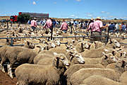 Farmers attend a sheep sale in Tasmania, Australia