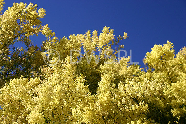 Acacia Flowers - The Flower Expert - Flowers Encyclopedia