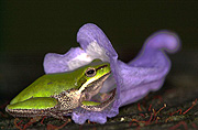 Australia, Australians, frog, frogs, amphibian, amphibians, sedge, sedge frog, sedge frogs, jacaranda, jacarandas, purple, purple flower, purple flowers, IS62,