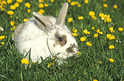 Animal, animals, rabbit, rabbits, pet, pets, domestic, domestic animal, domestic animals, buttercup, buttercups, yellow, yellow flower, yellow flowers, flower, flowers, Flora, Australia, Sport pictures, Sports, balloon images, hot air balloons