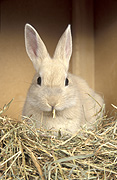 Animal, animals, rabbit, rabbits, brown, brown rabbit, brown rabbits, straw, hutch, hutches, rabbit hutch, rabbit hutches, pet, pets, domestic, domestic animal, domestic animals, Australia, Sport pictures, Sports, balloon images, hot air balloons