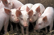 Agriculture, Livestock, pig, animal, animals, pigs, meat industry, meat trade, piglet, piglets, baby animal, baby animals, young animal, young animals, cute animal, cute animals, litter, litters, Australia, Sport pictures, Sports, balloon images, hot air balloons