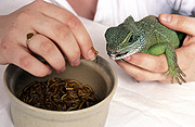Animal, animals, lizard, lizards, reptile, reptiles, squamate, squamates, chordata, chamaeleonidae, chameleon, chameleons, pet, pets, hand, hands, jewellery, ring, rings, bowl, bowls, Australia, Sport pictures, Sports, balloon images, hot air balloons