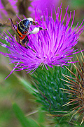 Insect, insects, bee, bees, thistle, thistles, purple, purple flower, purple flowers, CS34,