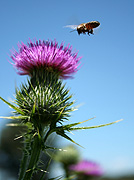 Insect, insects, bee, bees, thistle, thistles, flight, flying, JE74,