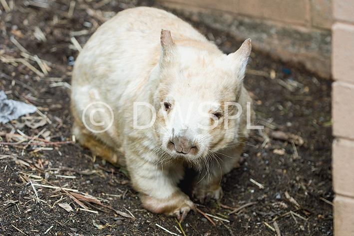 Albino wombat - photo#5