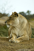 Animal, animals, wildlife, African, Cat, Cats, Big Cat, Big Cats, Lion, Lions, Lioness, Lionesses, Pantheris, Leo, Leo Pantheris, BS65,