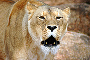 Animal, animals, wildlife, African, Cat, Cats, Big Cat, Big Cats, Lion, Lions, Lioness, Lionesses, Pantheris, Leo, Leo Pantheris, mouth, mouths, BS65,