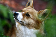 Animal, animals, dog, dogs, pet, pets, domestic dog, domestic dogs, corgi, corgis.