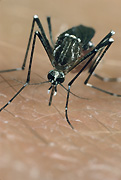 Insect, insects, mozzie, mozzies, mosquito, mosquitos, mosquitoes, egyptian, egyptian mosquito, egyptian mosquitoes, aedes, aegyptii, aedes aegyptii, yellow fever, fever, fevers, skin, human skin.