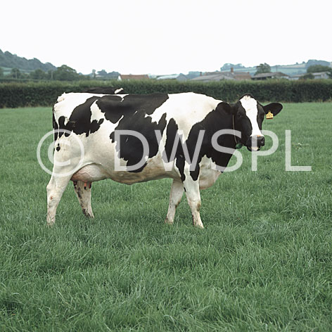holstein dairy cow. HOLSTEIN FRIESIAN DAIRY COW ON