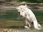 Australia, animal, animals, cat, cats, wild, wild cat, wild cats, big cat, big cats, tiger, tigers, white, white tiger, white tigers.