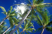 Australia, Qld, Queensland, port douglas, 4 mile beach, four mile beach, palm, palms, palm tree, palm trees, tree, trees, treetop, treetops, tree top, tree tops.