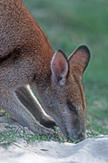 Animal, Animals, Australia, Australian, Australian animal, Australian animals, eat, eats, eating, graze, grazes, grazing, macropod, macropods, macropus, mammal, mammals, marsupial, marsupials, wallabia, kangaroo, kangaroos, wallaby, wallabies, agile, agile wallaby, agile wallabies, macropus, agilis, macropus agilis.