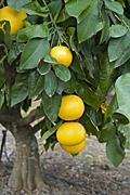 Food, Fruit, grapefruit, grapefruits, citrus, citrus fruit, citrus fruits, tree, trees, fruit tree, fruit trees, grapefruit tree, grapefruit trees, citrus, citrus, citrus tree, citrus trees.