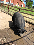 Australia, New South Wales, farm, farms, farming, pig farm, pen, pens, pig farms, blue mountains, great dividing range, fence, fences, animal, animals, livestock, agriculture, pig, pigs, PL69,
