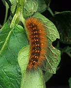 Insect, insects, caterpillar, caterpillars, pest, pests, salt marsh, salt marsh caterpillar, salt marsh caterpillars, estigmene, acrea, ESTIGMENE ACREA, vegetable, vegetables, potato, potatoes.