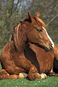 Animal, animals, horse, horses, brown, brown horse, brown horses, Australia, Sport pictures, Sports, balloon images, hot air balloons