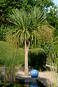 Tree, trees, palm, palm tree, palm trees, torbay, torbay palm, torbay palms.