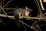 Animal, Animals, Australian animal, Australian animals, possum, australian mammal, australian mammals, possums, brushtail, brushtail possum, brushtail possums, common brushtail, common brushtail possum, common brushtail possums, common, phalangerid, marsupial, marsupials, mammal, mammals, australian, Trichosurus, Trichosurus vulpecula.