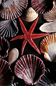 Marinelife, Marine life, Aquatic, Aquatic life, Sea life, Sealife, shell, shells, mollusc, mollusc, starfish, starfishes, star fish, star fishes, invertebrate, invertebrates.