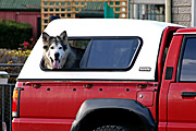 Transport, transportation, vehicle, vehicles, car, cars, dog, dogs, window, windows, tyre, tyres.