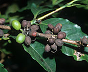 Disease, diseases, plant disease, plant diseases, Coffee, coffea, arabica, coffea arabica, Coffee berry disease, Colletotrichum coffeanum, colletotrichum, coffeanum.