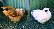 Chicken, Chickens, Animal, Animals, Bird, birds, pet, pets, fowl, silky, chinese silky chicken, chinese silky chickens, chinese silkie chicken, chinese silkie chickens, silkie chicken, silkie chickens, hen, hens, poultry, MG73,