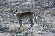 Animal, Animals, dog, dogs, dingo, dingos, dingoes, wild dog, wild dogs, feral, feral animal, feral animals, feral dog, feral dogs, native dog, native dogs, warrigal, warrigals, canis, canis familiaris, mammal, mammal, NT, Northern Territory, Australia, simpson, simpson desert, desert, deserts, australian desert, australian deserts.