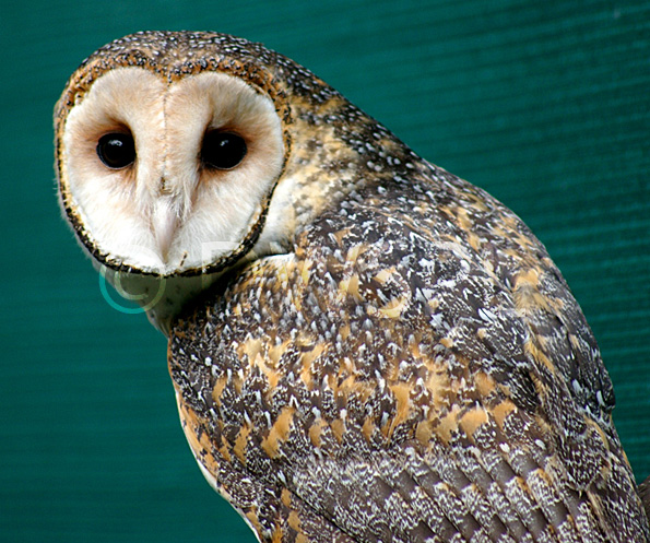 Australian Masked Owl australian white masked owl img wide