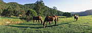 Animal, animals, horse, horses, nsw, new South Wales, cooma, NP80,