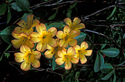 Flower, flowers, rhododendron, rhododendrons, vireya, zoelleri, vireyas, vireya rhododendron, vireya rhododendrons, yellow, yellow flower, yellow flowers.