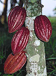 Asia, Asian, Southeast Asia, South East Asian, SE Asia, Agriculture, cocoa, cocoa pod, cocoa pods, cocoa plantation, cocoa plantations, Malaysia, cacao tree, cacao trees.