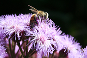 Insect, insects, bee, bees, flower, flowers, ageratum, floss flower, floss flowers.