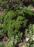 Food, garden, gardens, herb garden, herb gardens, Herb, herbs, parsley, curled, curled parsley, curly parsley, Petroselinum Crispum.