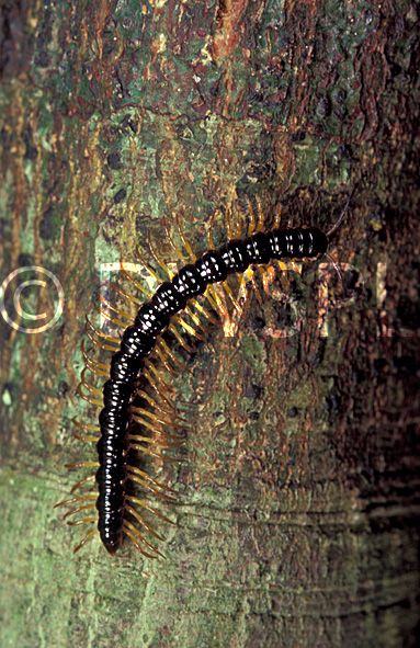 A ROYALTY FREE IMAGE OF: CENTIPEDE (MYRIAPODA) ON TREE TRUNK