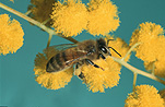 Insect, Insects, bee, bees, honey bee, Honey bees, apis, honey, Apis mellifera, honeybee, honeybees, native honeybee, native honeybees, native honey bee, native honey bees, acacia, acacias, wattle, mimosa, acacia tree, acacia trees, flower, flowers, yellow, yellow flower, yellow flowres.