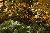 Australia, beech, beech tree, beech trees, autumn, autumn foliage, fern, ferns, tree fern, tree ferns.