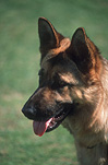 Animal, Animals, dog, Dogs, domestic dog, domestic dogs, pets, german shepherd, german shepherds, german shepherd dog, german shepherd dogs, alsation, alsations, alsation dog, alsation dogs, tongue, tongues, pet, pets.