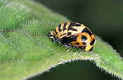 Insect, insects, ladybird, ladybirds, Beetle, Beetles, invertebrate, invertebrates, arthropod, arthropods, coccinellidae, coccinella, coccinella repanda, australia.