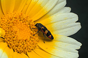 Insect, insects, beetle, beetles, jewel beetle, jewel beetles, buprestid, Buprestid beetle, buprestid beetles, buprestid, flower, flowers, yellow, yellow flower, yellow flowers, chrysanthemum, chrysanthemums, shungiku, daisy, daisies.