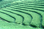 Indonesia, bali, rice, rice terrace, rice terraces, rice growing, Royalty Free Image