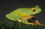 Animal, Animals, Amphibian, Amphibians, Frog, Frogs, tree frog, tree frogs, dainty tree frog, dainty tree frogs, Litoria, Litoria gracilenta, IS47,