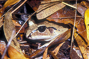 Amphibian, amphibians, amphibious, frog, frogs, barred frog, barred frogs, great barred frog, great barred frogs, great-barred frogs, mixophyles fasciolatus, IS47,