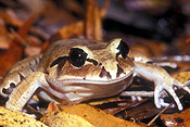 Animal, Animals, Amphibian, Amphibians, frog, frogs, barred frog, barred frogs, Great Barred Frog, great barred frog, mixophyles, Mixophyles fasciolatus, IS47,