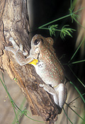 Animal, Animals, Amphibian, Amphibians, Frog, Frogs, tree frog, tree frogs, Perons, Perons tree frog, Perons tree frogs, Litoria, Litoria peroni, peroni, IS47,