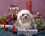 Christmas, Christmas scene, Christmas scenes, present, presents, gift, gifts, Christmas present, Christmas presents, animal, animals, dog, dogs, pet, pets, domestic dog, domestic dogs, maltese terrier, maltese terriers, terrier, terriers.
